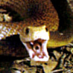Profile photo of taipan